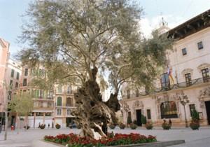 olijfboom placa corto